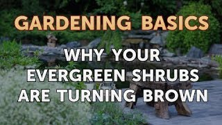 Why Your Evergreen Shrubs Are Turning Brown