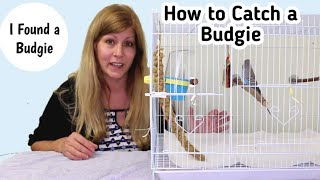 How to Catch a Lost Budgie from Outside | I Found a Budgie