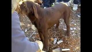 preview picture of video 'perro busca trufa negra'