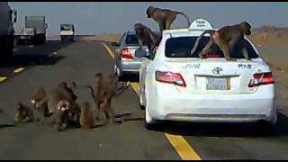 هجوم القرده