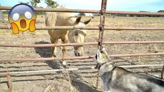 My Husky Reacts to Meeting a Horse and Runs Through The Beach! (1 Million Subscribers Special # 2)