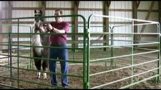 Approach, Halter, and Lead Your Camelids With Ease