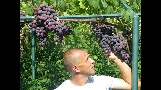 Ранние сорта винограда — срок созревания, правила выращивания