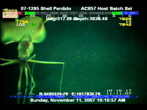 Another bigfin squid captured on camera in 2007.