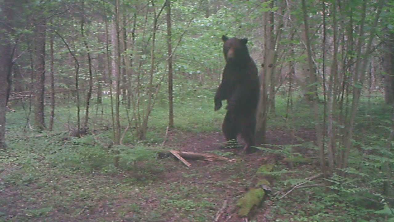 Медведь-великан возле солонца