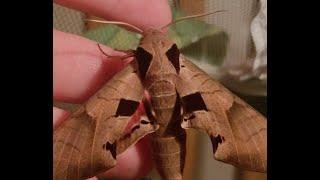 Achemon Sphinx Moth(2017)