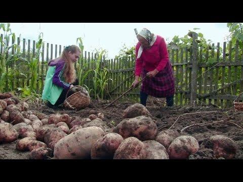 Собираем картошку! 05.09.2016
