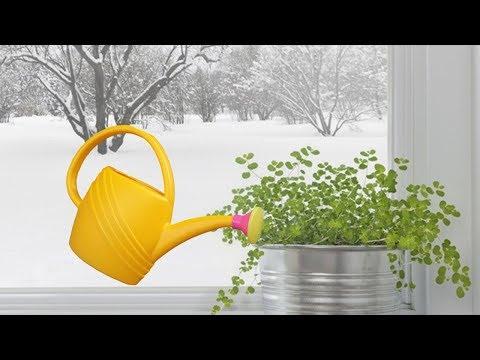 Как поливать комнатные растения зимой? Зимний полив растений.