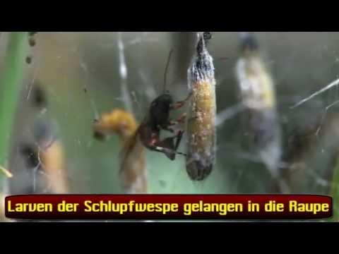 Die Würmer wozu träumt
