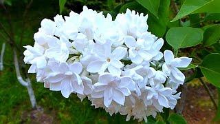 Сирень. Белая Сирень. Цветы Сирени. Красивые Цветы Сирени. Футаж Сирень. Футажи для видеомонтажа