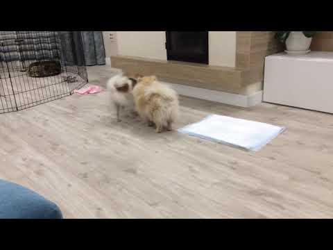 Продам щенков малого шпица . Продам щенков немецкого шпица в Алтайском крае, Бийск, 19.11.2017