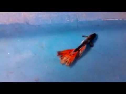 Video Cara mengatasi Jamur Pada Ikan Guppy dan Cupang