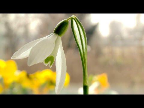 T/_200PCS Schneeglöckchen Galanthus Samen Herbst Glühbirnen Wachsende Garten