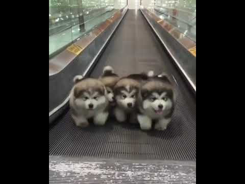 4 puppies walking to Bee Gees - Stayin' Alive