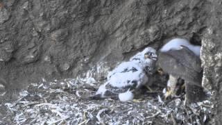 Peregrine falcon feeding young. Day 30