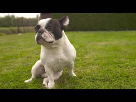 Rashond van de week Franse Bulldog
