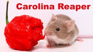 Does The World's Hottest Pepper Repel Mice & Rats? Carolina Reaper. Mousetrap Monday