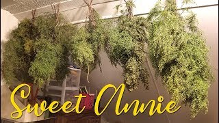 Harvesting & Preserving Sweet Annie ~ Grow Your Own Craft Supplies!