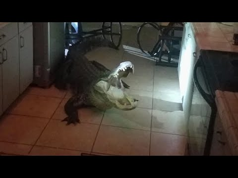 11-foot alligator breaks into Clearwater home