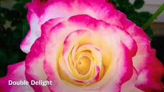 青青❤️玫瑰花园rose-2 Hybrid Tea Rose