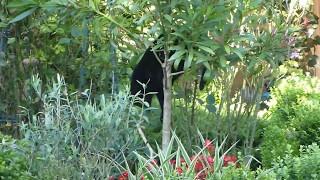 Katze Mimi im Oleanderbaum