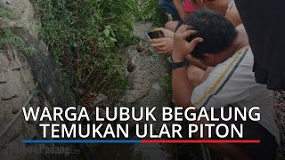 Warga Lubuk Begalung Padang Temukan Ular Piton dengan Perut Buncit, Kepala Diikat agar Tak Kabur
