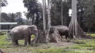 TERKINI...Aktiviti Bersama Gajah Di Kuala Gandah Pahang.