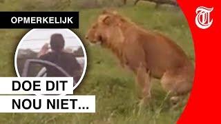 Roekeloze actie leeuwenspotter gefilmd