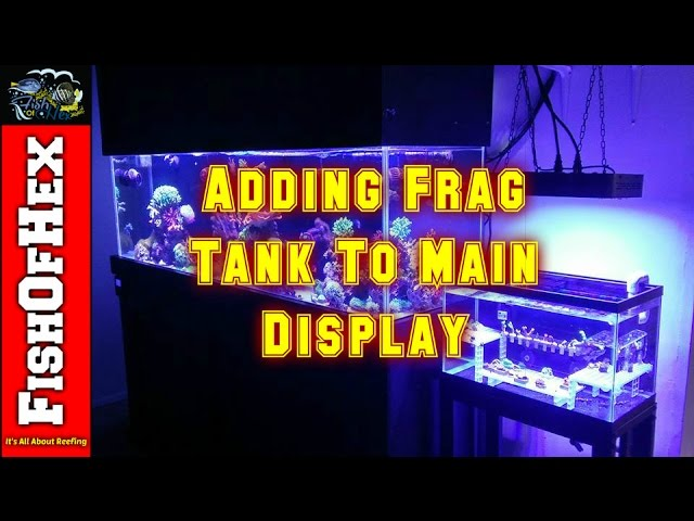 Adding Frag Tank To Main Display | Reef Tank