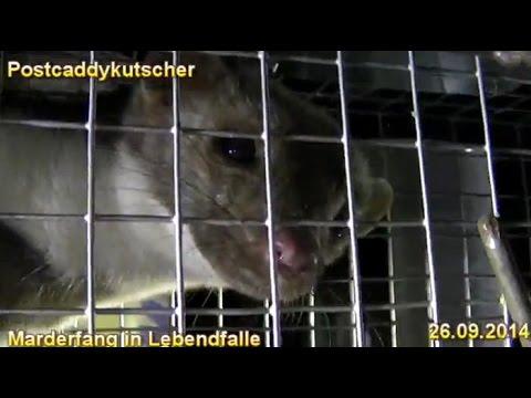 Marder (Mustelidae) gefangen in Lebendfalle Marderfang