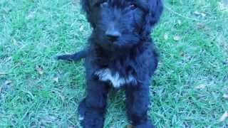 9 Week Old Black F1 Goldendoodle