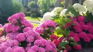 #Чудо-гортензия.  Гортензия: разные сорта в одном саду.