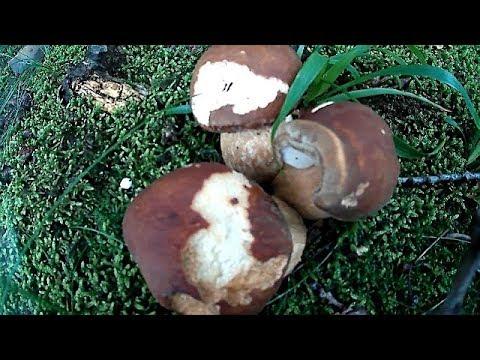 Білі Гриби після Дощу 2018 White Mushrooms after Rain 2018