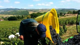 #Gamay #grapes #Harvest in #Beaujolais