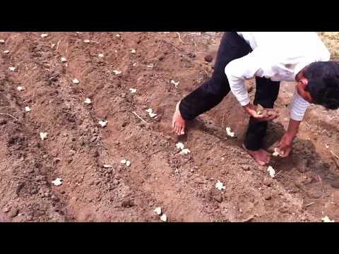 Video Cara Menanam Jahe di Lahan Terbuka