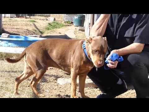 COCO- SWEET FRIEND, an adopted Pit Bull Terrier Mix in Liverpool, TX