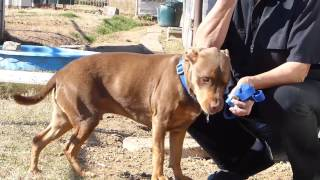 CoCo  **Video** - Terrier / Hound / Mixed (short coat) Dog For Adoption