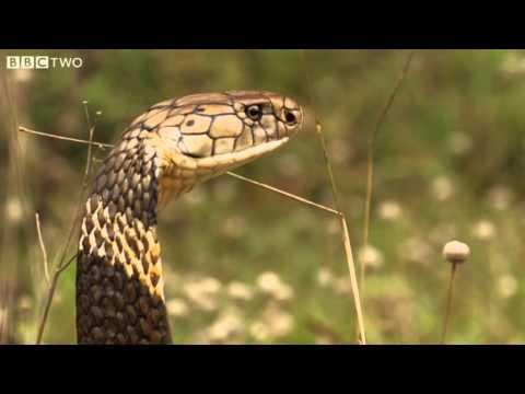 how dangerous is the king cobra natural world one million sn