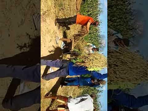 Colheita do arroz em Agricolândia comunidade Buraco Dágua