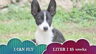 LITTER I ( MAI X COUGAR ) 15 weeks -first spin dx-sx rotazioni e pivot and play
