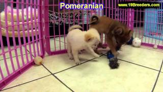 Pomeranian, Puppies, For, Sale, In, Portland, Oregon, OR, McMinnville, Oregon City, Grants Pass, Kei