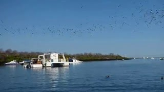 Over 100 Birds Dive for Fish at the same time