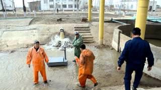 В Атырау выловлена крупная белуга