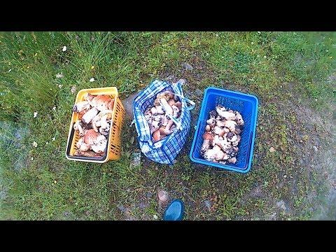Білі гриби в Карпатах після дощу.Белые грибы в Карпатах после дождя.