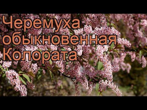 Черемуха обыкновенная Колората (colorata) 🌿 обзор: как сажать, крупномеры черемухи Колората