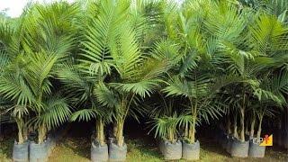 Curso a Distância Cultivo de Palmeira-Real para Produção de Palmito