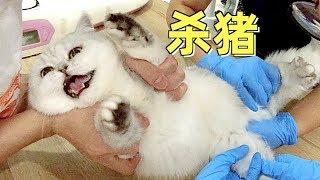 猫咪三年没体检,带去医院检查气得不行,惨绝人寰发出杀猪叫