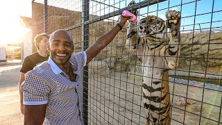 FEEDING TIGERS WITH BABY BOTTLES! (Heart Warming)