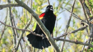 Red Winged Blackbird Song And Calls