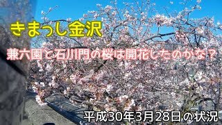 2018兼六園の桜を見に行ってきた